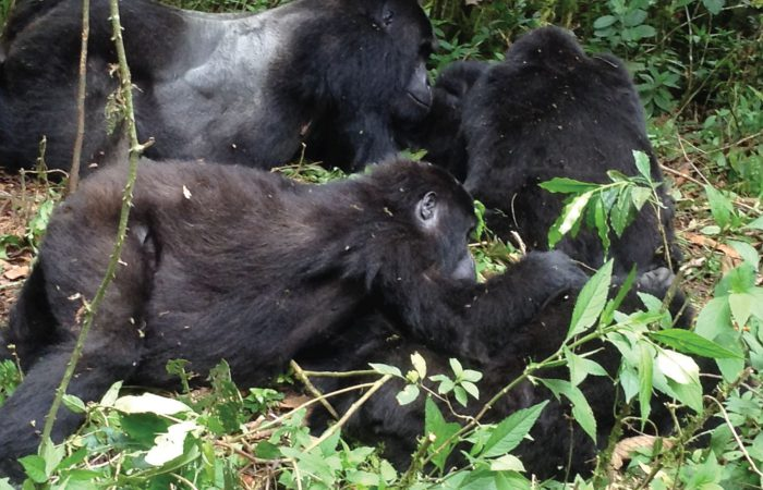 Two Days Gorilla Trekking Expedition