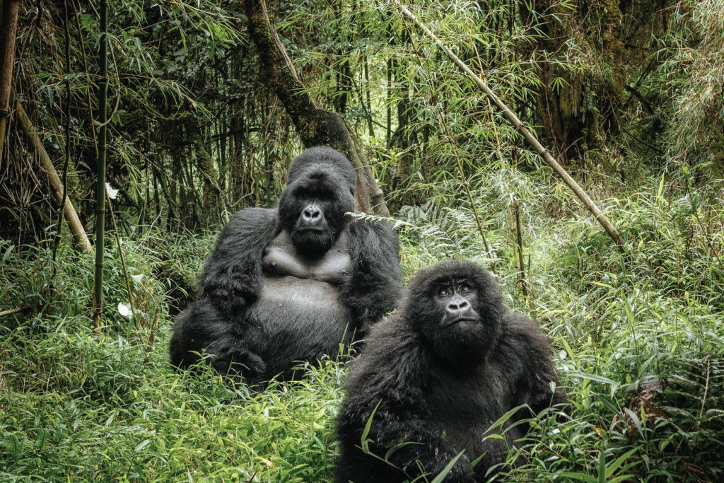 8 Days Gorilla Trek Congo & Okapi Safari