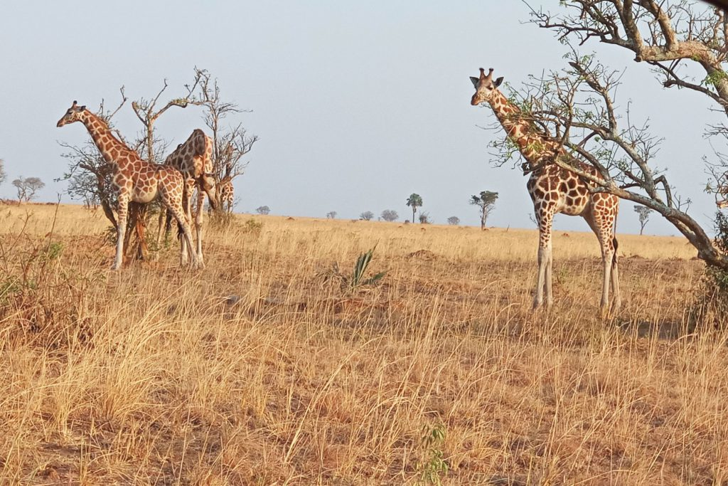 Wild animals in Murchison falls National Park