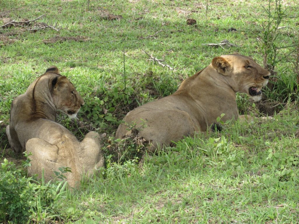 lions on All East Africa Safaris